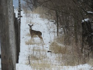 Deer Tags Needed if Transporting Deer off of the Settlement